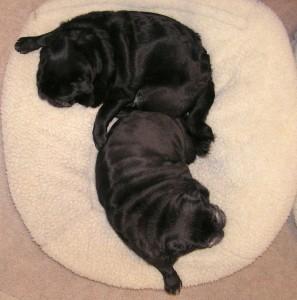 yin yang pugs